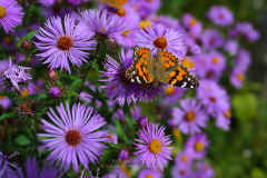 Lavender Asters with Painted Lady Butterfly