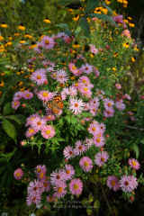 Peach Asters with Painted Lady Butterfly