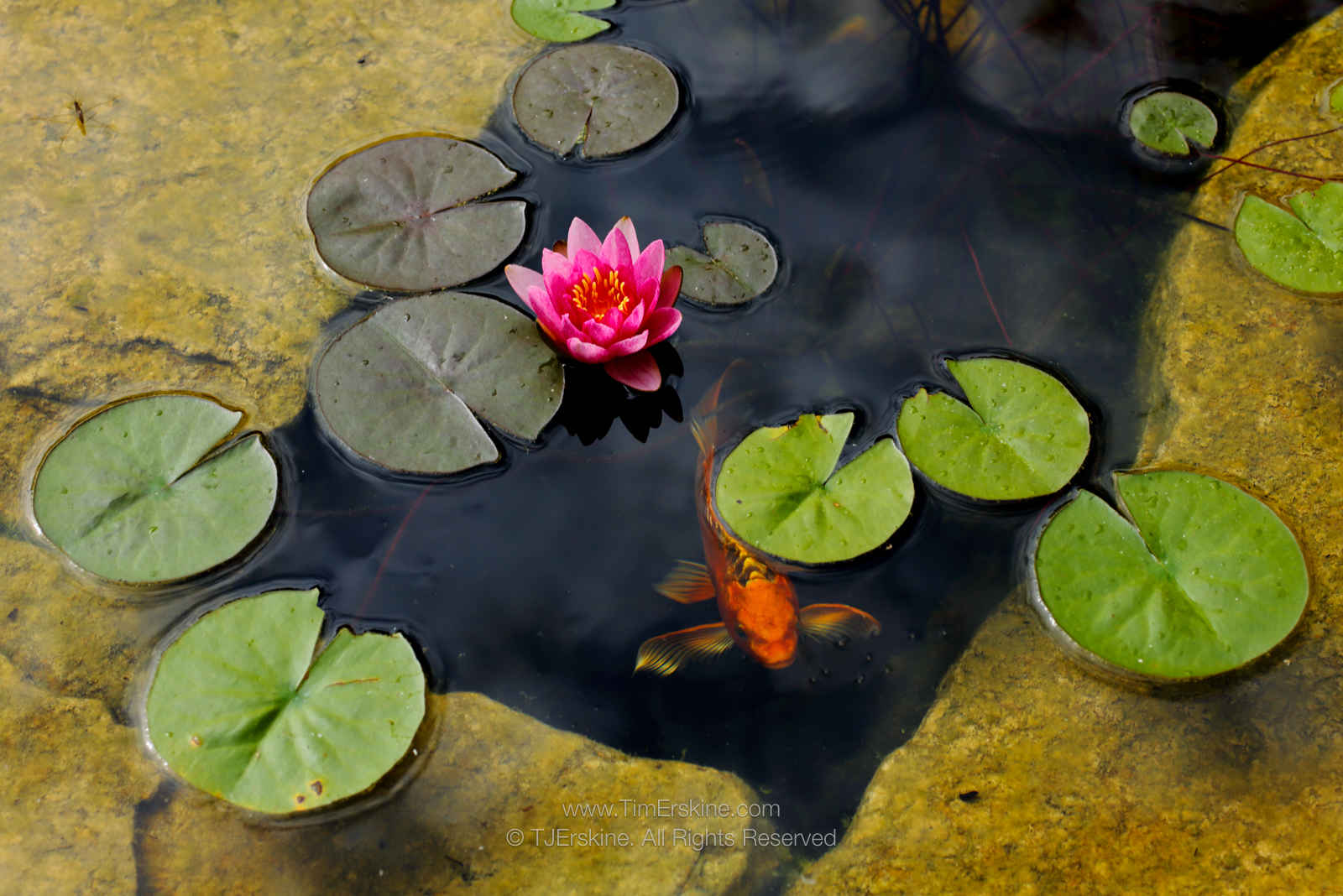 Water Lily with Secret Koy